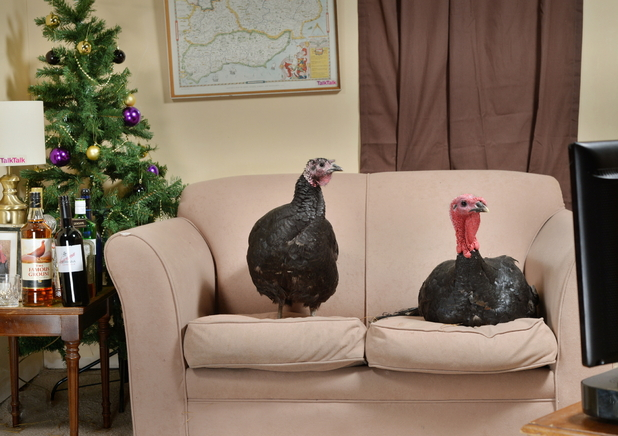Turkeys reenacting Steph and Dom on Gobblebox
