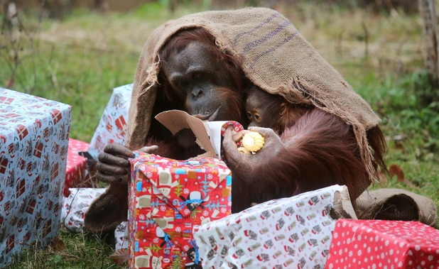 Orangutans open Christmas presents, Paignton Zoo, Devon 15 December