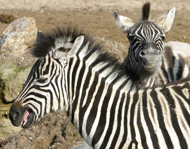 Smiling zebras, Hagenbeck Zoo, Germany 2 January