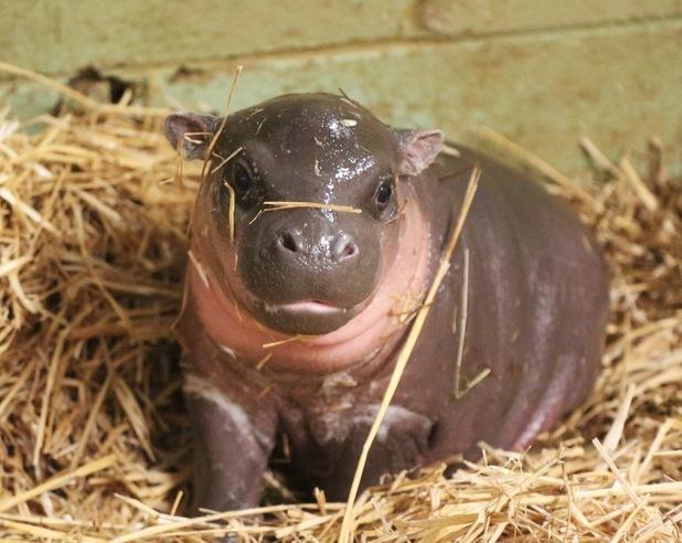 Baby pygmy hippo, Whipsnade Zoo 15 january