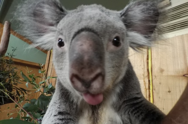 Koala selfie at Edinburgh Zoo