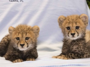 Busch Gardens welcomes two seriously cute baby cheetahs!