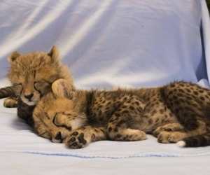 Busch Gardens welcomes two new baby cheetah arrivals, Tampa, Florida US 25 February