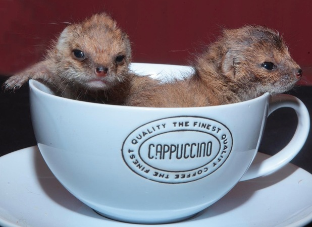 Mumbles and Wiggles, two yellow mongoose babies