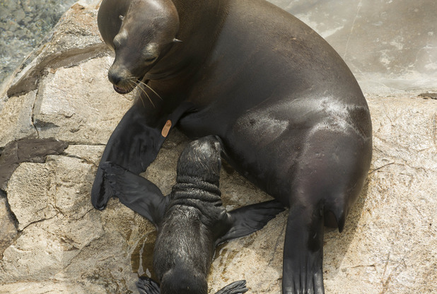 Sea lion mother and her pup, Sea World Orlando, Florida March