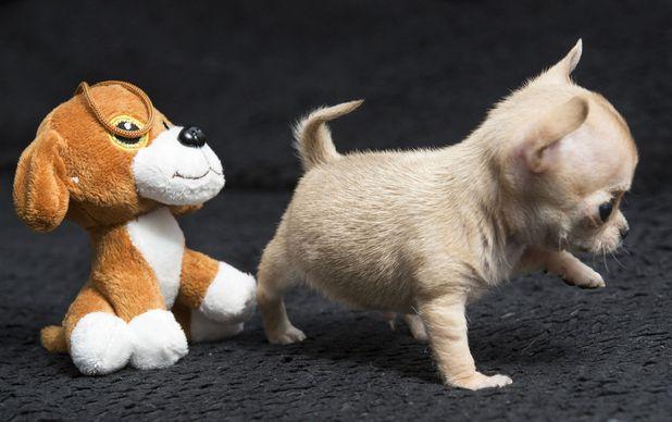 Toudi the world's smallest chihuahua, Poland 27 March