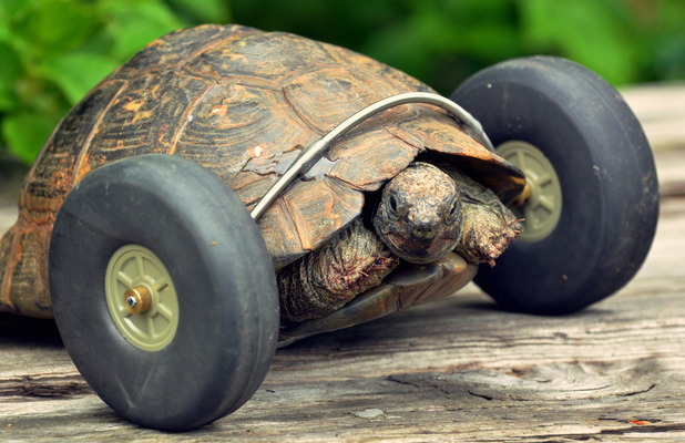 Mrs T the tortoise has been fitted with wheels after having her front legs gnawed off by rats
