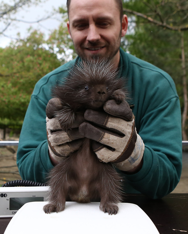 Baby porcupine at Hagenbeck Zoo, Germany 7 May
