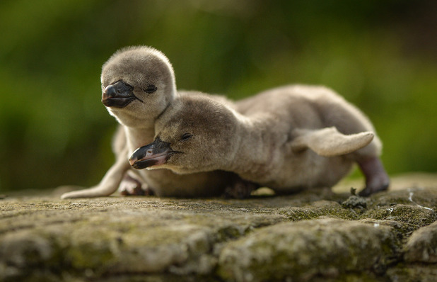 Newborn penguin chicks at Chester Zoo May
