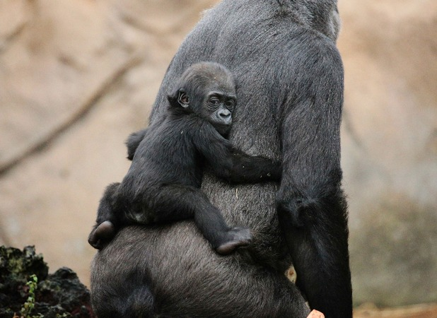 Baby gorilla gets a piggy back from mum