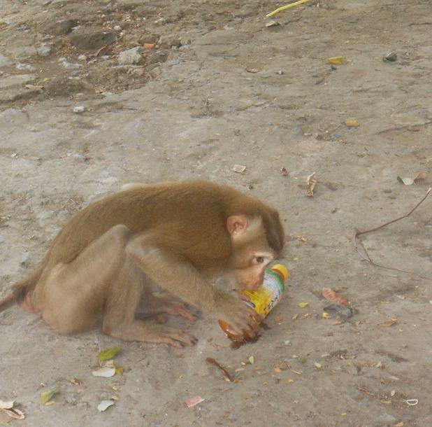 Monkey on Phnom Sampeau mountain, 19/5/15