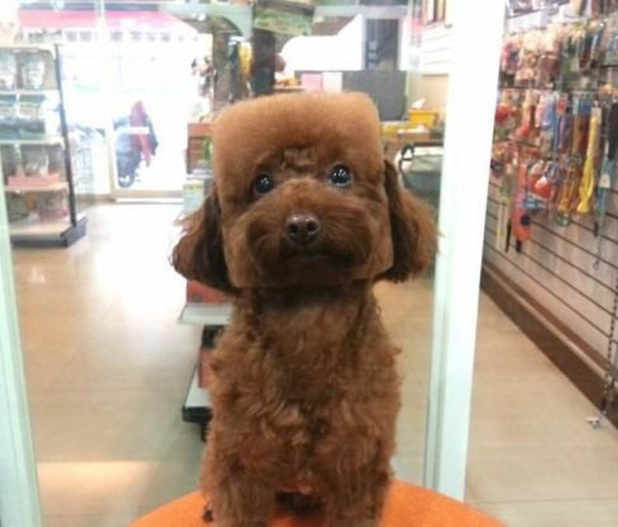 Box-shaped dog brown poodle