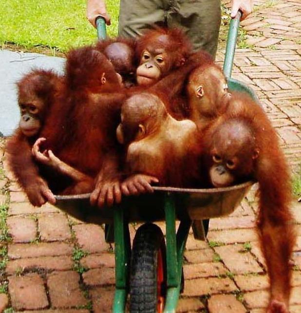 Baby orangutans take a ride in a wheelbarrow to 'training' school