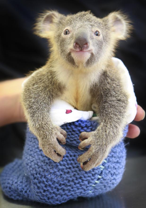 Phantom the baby koala in knitted sleeping bag