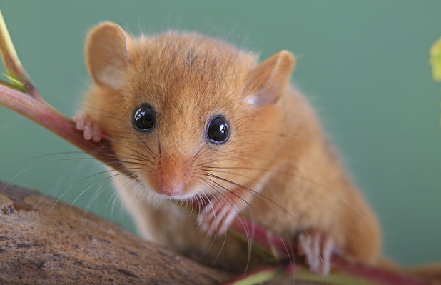 Dormouse - Sue Collard drove to France twice, over 800miles, to take the dormouse back