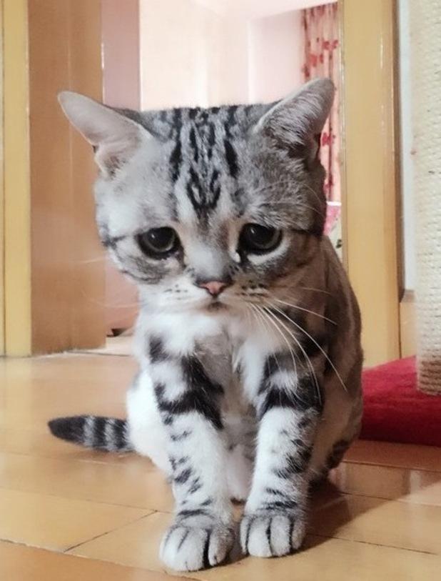 Luhu, the sad celebrity cat, June 2015