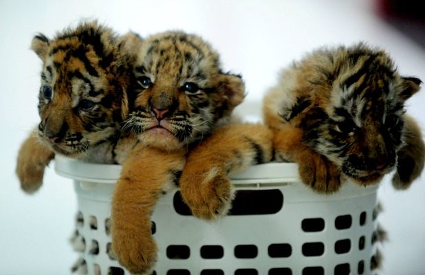 Siberian tiger cubs wait for feeding at a tiger park in Shenyang, capital of northeast China's Liaoning Province 22 Jun 2015
