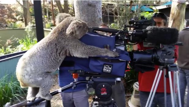 Miley the koala camera operator