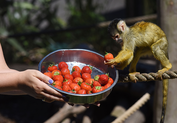 Squirrel monkeys at Chessington getting into Wimbledon spirit