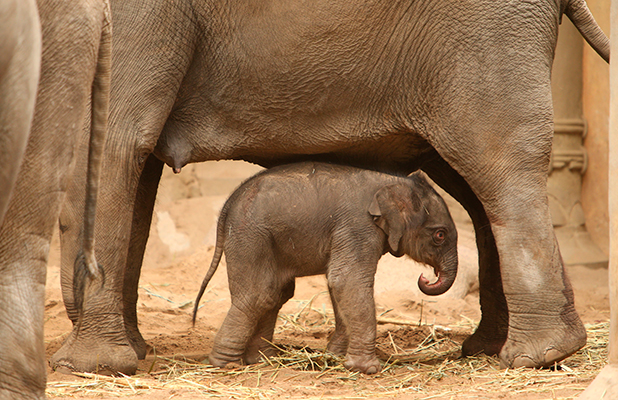 Mother elephant Yashoda were her unnamed newborn baby 13 Jul 2015