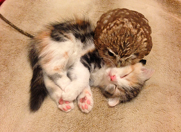 Fuku the owlet and Marimo the kitten are best friends that live together at the Hukulou coffee shop in Osaka, Japan 2 Jul 2015