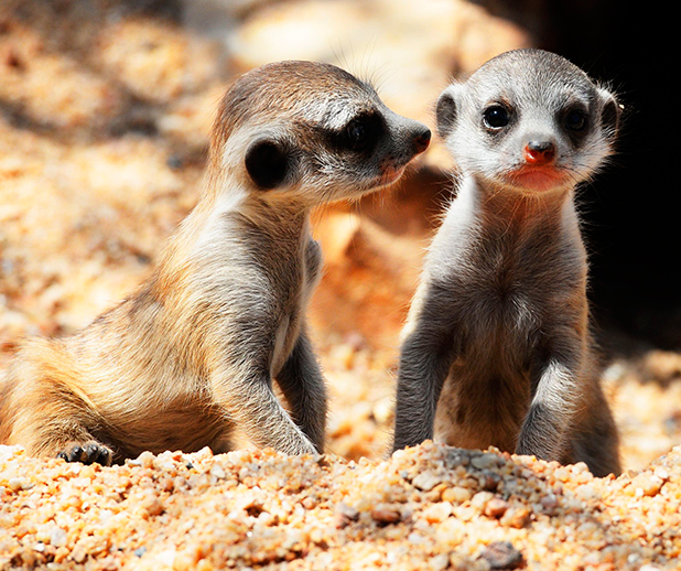 Baby Meerkats at Crocodylus Park, Darwin, Australia - 14 Aug 2014