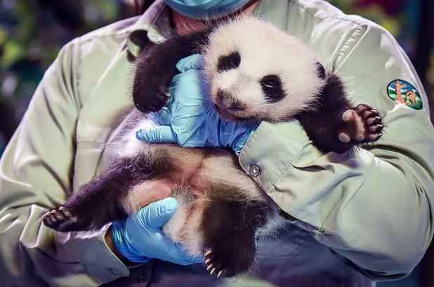 Giant panda cub triplets