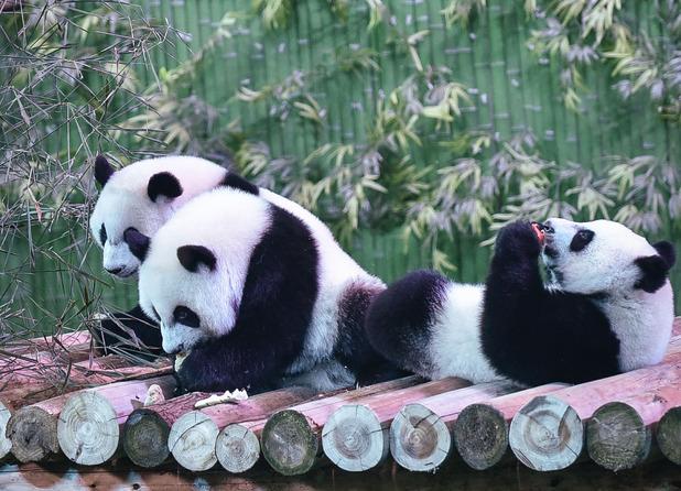 Giant panda cubs triplets at a safari park in China