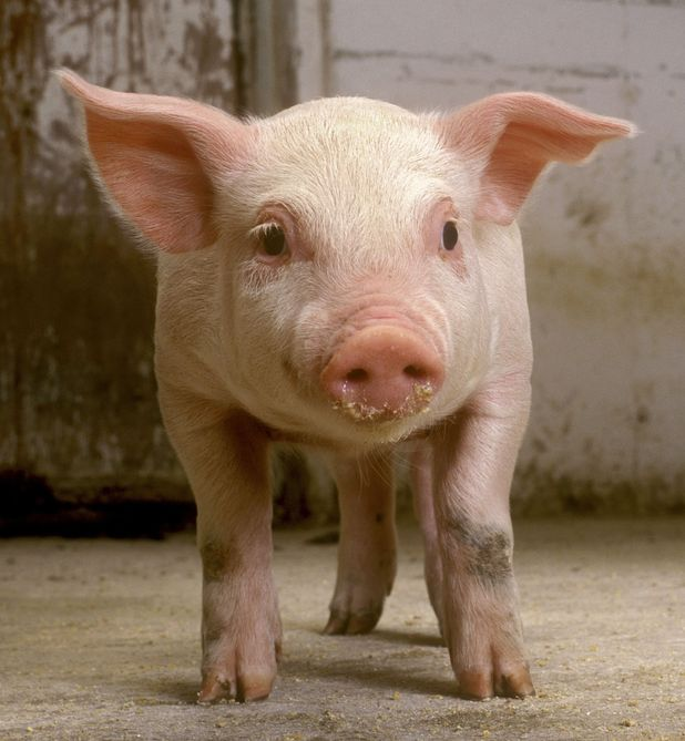Nicky Bacon called the police after a piglet was stolen from her farm