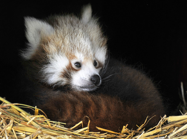 Baby red panda twins unveiled at ZSL Whipsnade Zoo, 29 September 2015