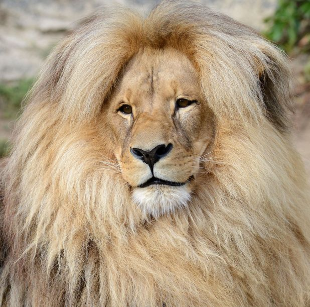 Leon the lion shows off his hair at a Czech zoo