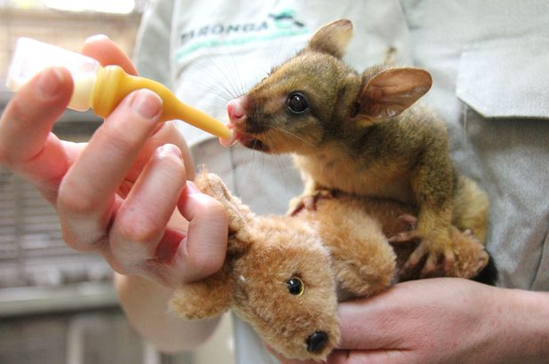 Bettina the possum joey clings to her kangaroo toy