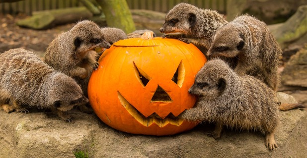 Meerkats at Knowsley Safari Park enjoy a pumpkin filled with tasty treats, October 2015