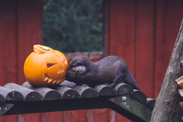 The resident otters at Weymouth SEA LIFE Adventure Park get involved with Halloween pumpkin fun - October 2015