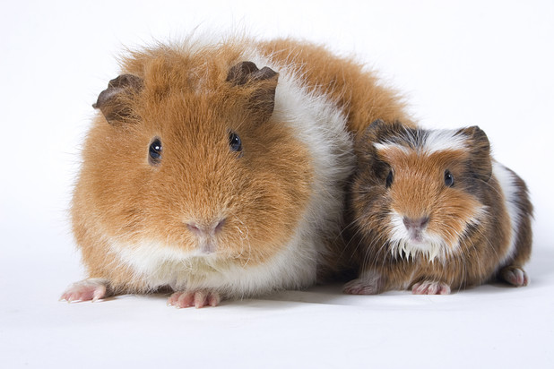 "Clive and Rose Restall have 21 guinea pigs that they claim have ""magic powers"""