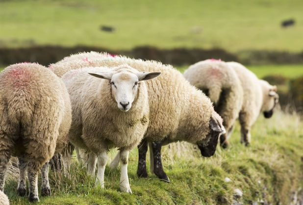Police held an identity parade for stolen sheep so farmers could identity their flock