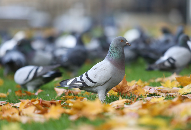 Pigeons could be trained to spot breast cancer