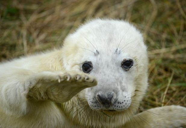 Seal pup in Lancashire waves to the camera