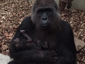 Fluffy Friday: Western lowland gorilla born at ZSL London Zoo