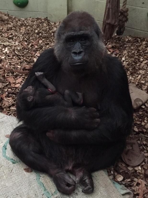 Western lowland gorilla born at ZSL London Zoo, November 2015