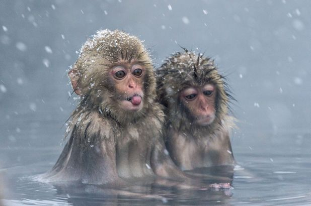 Snow Monkeys, Jigokundani Monkey Park, Yamanouchi, Nagano Prefecture, Japan - 17 Dec 2015