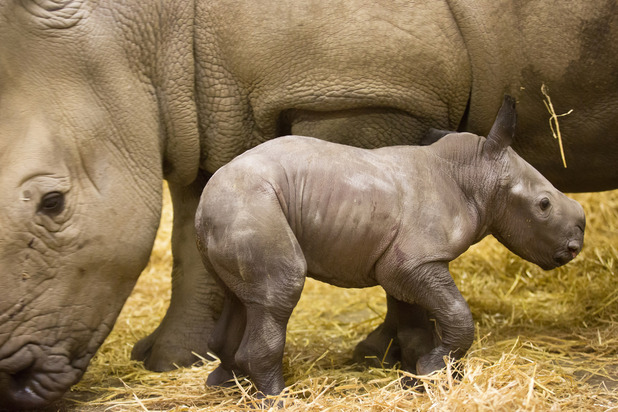 Endangered rhino birth at Knowsley Safari, January 2015