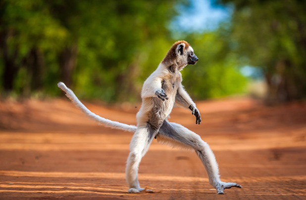 Sifaka lemurs were captured by a photographer in Madagascar