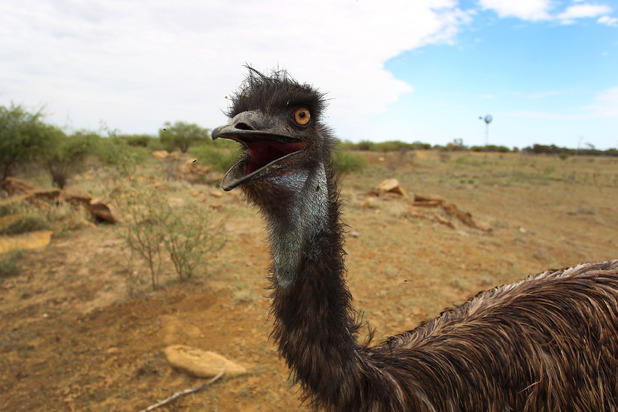 Emu eggs have gone on sale in selected Waitrose stores
