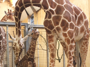 Baby giraffe born at ZSL Whipsnade Zoo, March 2016