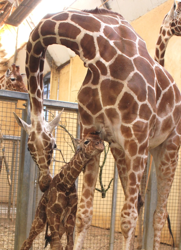 Baby giraffe born at ZSL Whipsnade Zoo, March 2016