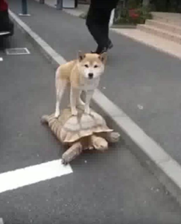 A video of a dog riding a tortoise has emerged