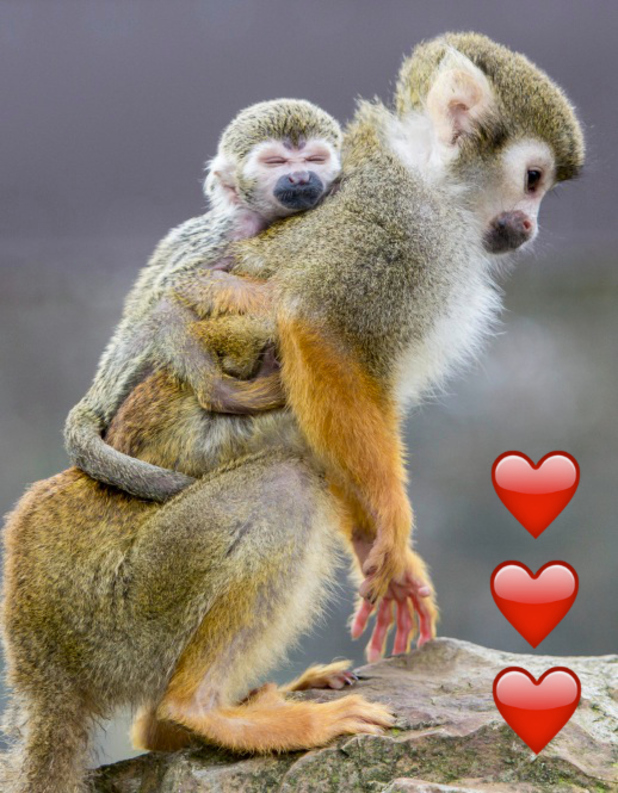 Baby squirrel monkey Mushu clinging on to his mum Daisy at Pembrokeshire's Folly Farm Adventure Park and Zoo, March 2016