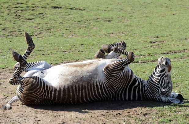 Zebras love the sunshine just as much as humans