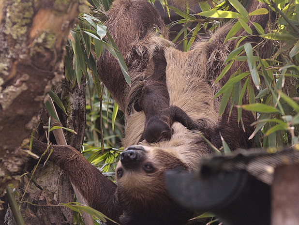 Baby sloth born at Drusillas Park zoo in East Sussex